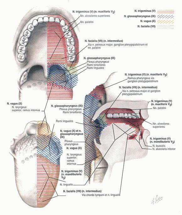Афферентная иннервация ротовой полости и глотки