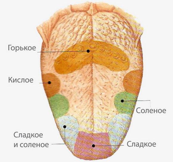 Схема вкусовых рецепторов языка